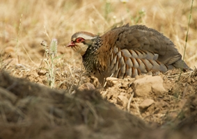 Big game hunting estate. Spain. Partridge