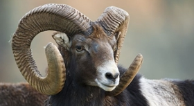 Big game species to hunt. Iberian mouflon
