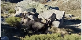 Big game species to hunt. Ibex