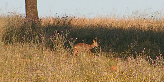 Big game species to hunt. Roe deer
