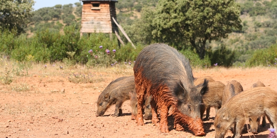 Big game species to hunt. Wild boar