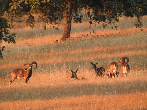 Hunt and evenings with friends. Iberian mouflon