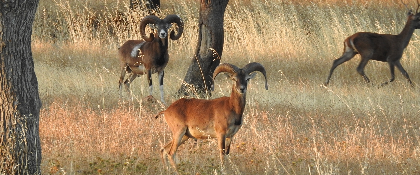Iberian mouflon & Red deer. Trophy hunt package.