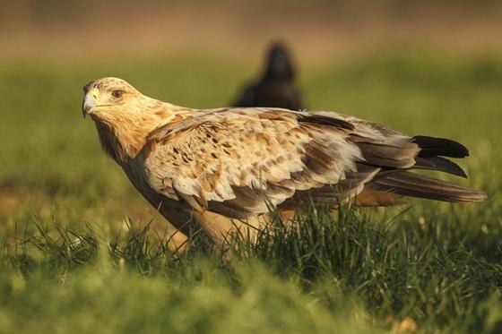 Observation of nature. Eagle