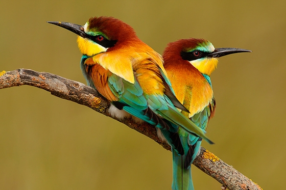 Observation of nature. European bee-eater