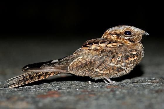 Observation of nature. European nightjar