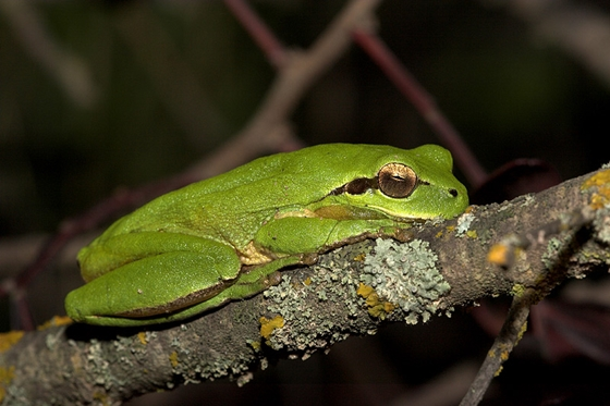 Observation of nature. European tree frog