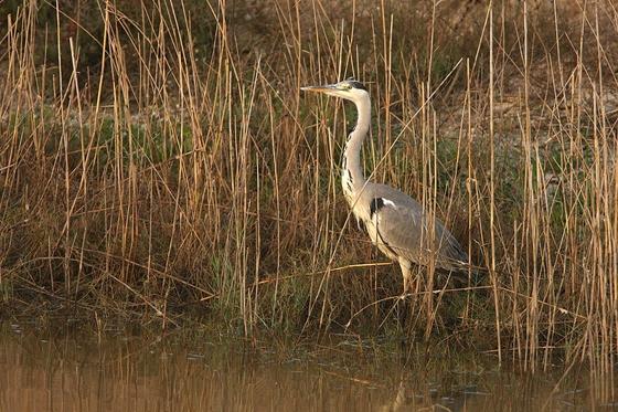 Observation of nature. Grey heron