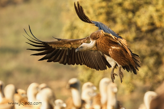 Observation of nature. Griffon vulture