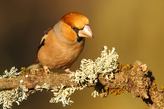 Observation of nature. Hawfinch