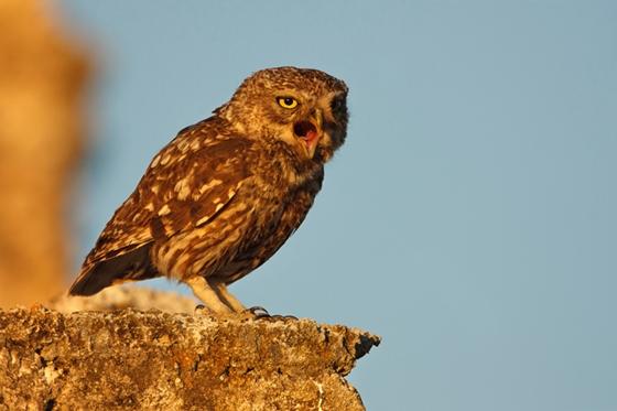 Observation of nature. Little owl