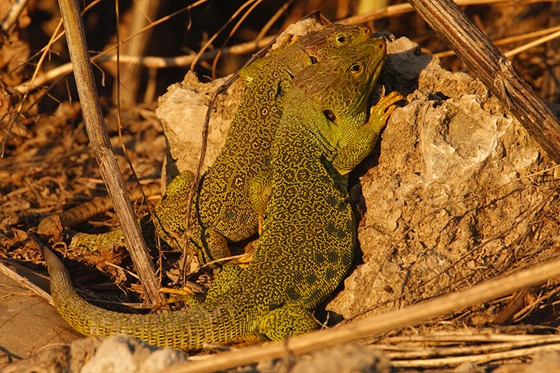 Observation of nature. Ocellated lizard