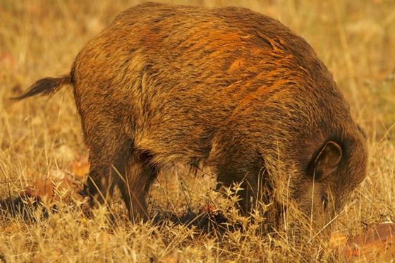 Observation of nature. Wild boar