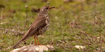 Small game species. Common thrush