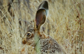 Small game species. Hare