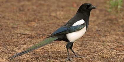 Small game species. Magpie