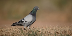 Small game species. Rock pigeon