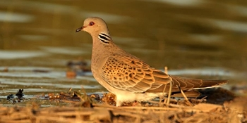 Small game species. Turtle dove