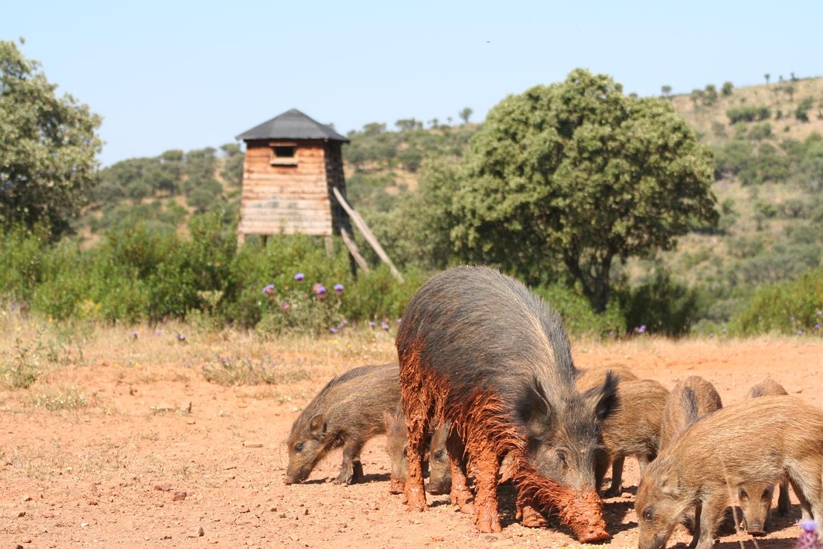 Stalkings and waitings. Wild boars